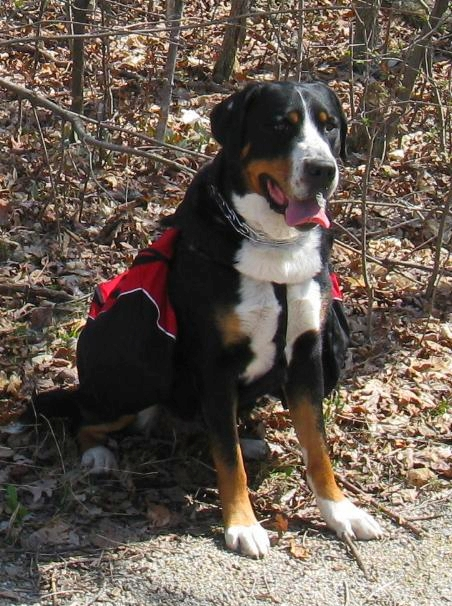 greater swiss mountain dog club of america - 452×606