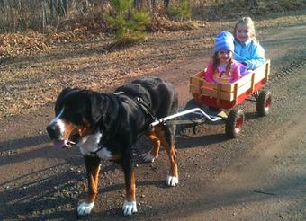 Greater swiss mountain dog pulling - photo#16