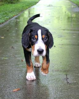 Blackamber Brolholmers And Greater Swiss Mountain Dogs